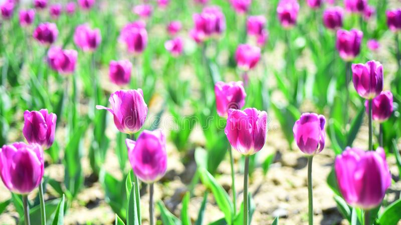 Holland tulips field. Tulip field. spring flower field. summer time. farming and gardening. 8 march or womens day. Flower shop concept. mothers day holiday royalty free stock image