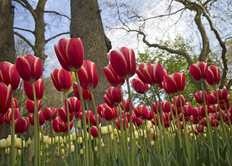 Holland tulips stock photos