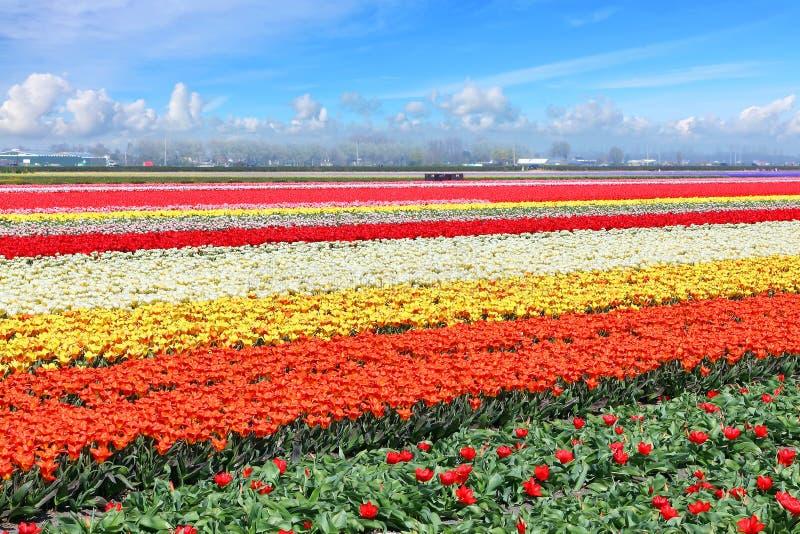 Holland tulpanfält arkivfoto