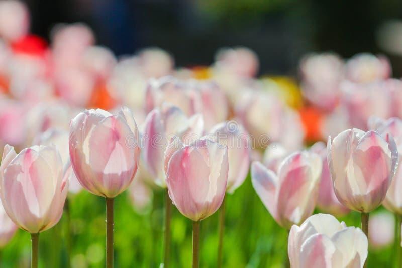 Holland tulpanf?lt V?rmagi av blomningen holl?ndska blommor F?rgrikt blomma landskap Nederl?nderna Lisse - tulpan royaltyfria foton
