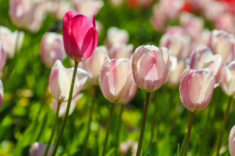 Holland-Tulpenfeld Fr?hlingsmagie der Bl?te Holl?ndische Blumen Bunte bl?hende Landschaft Die Niederlande, Lisse - Tulpe lizenzfreie stockbilder