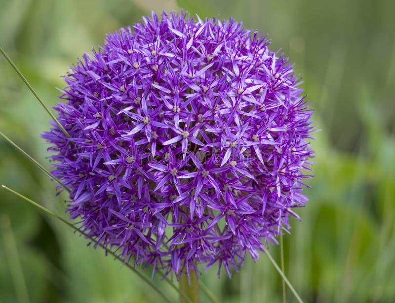 Hollandicum ornemental pourpre de floraison d'allium d'oignon, sensation pourpre sur le fond d'herbe verte photographie stock