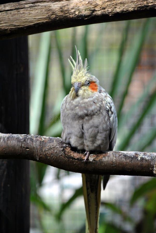Hollandicus latino del Nymphicus di nome del Cockatiel fotografie stock libere da diritti
