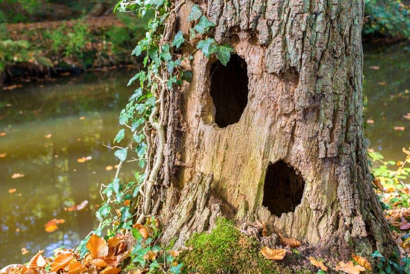 Holle eiken boomboomstam met twee gaten bij water royalty-vrije stock foto's