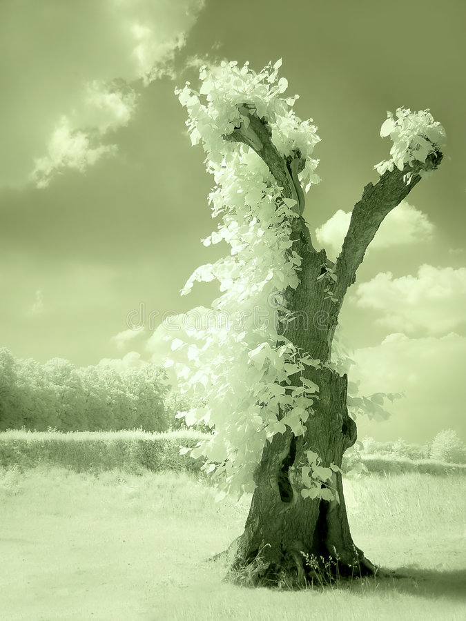 Download Hollow tree in infrared stock image. Image of tree, halloween - 5008351