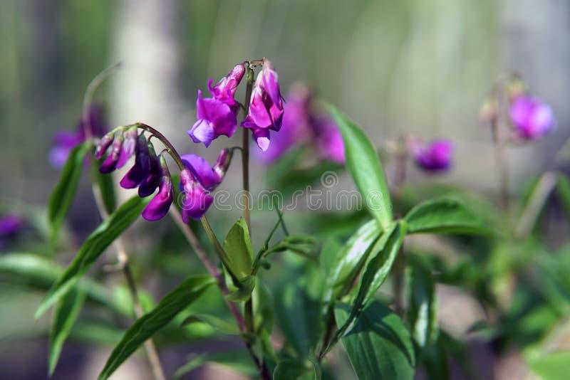 Hollowroot, Corydalis cava, fio?kowa wiosna kwitnie makro- zdjęcie stock