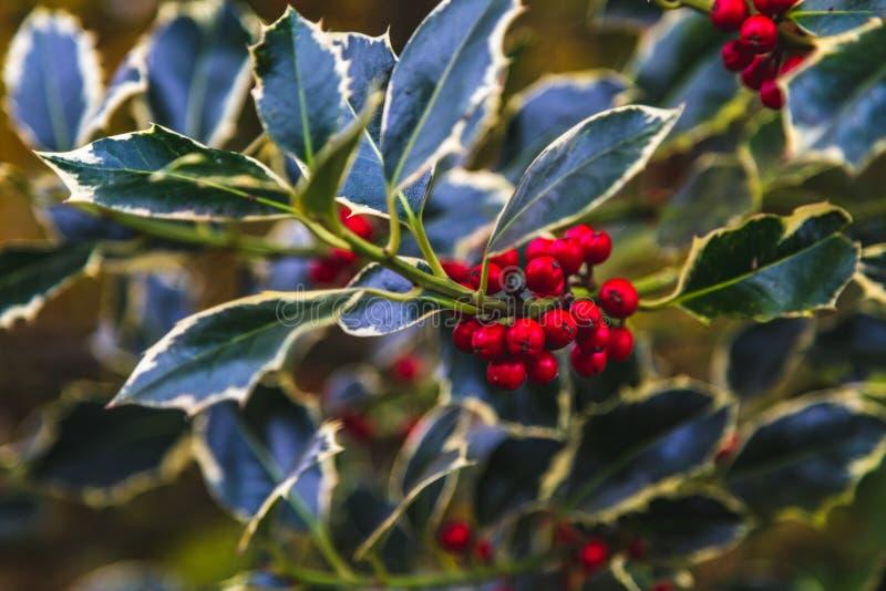 Κλάδος της Holly με τα κόκκινα μούρα στοκ φωτογραφία με δικαίωμα ελεύθερης χρήσης