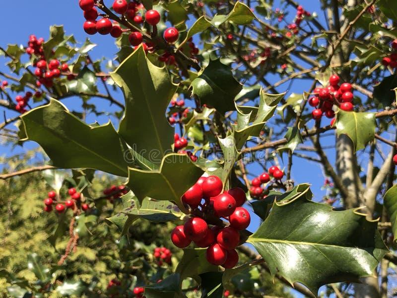 Holly, κοινός ελαιόπρινος, αγγλικός ελαιόπρινος, ευρωπαϊκός ελαιόπρινος, ή περιστασιακά aquifolium Ilex ελαιόπρινου Χριστουγέννων στοκ εικόνα με δικαίωμα ελεύθερης χρήσης
