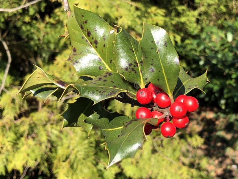 Holly, κοινός ελαιόπρινος, αγγλικός ελαιόπρινος, ευρωπαϊκός ελαιόπρινος, ή περιστασιακά aquifolium Ilex ελαιόπρινου Χριστουγέννων στοκ φωτογραφίες με δικαίωμα ελεύθερης χρήσης