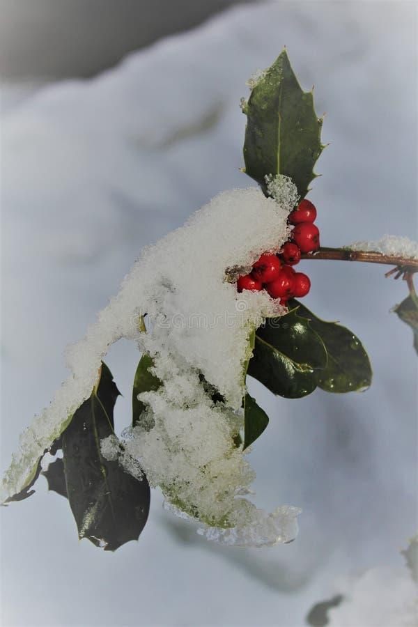 Holly που επιχρυσώνεται με το φρέσκους χιόνι και τον πάγο στοκ εικόνα