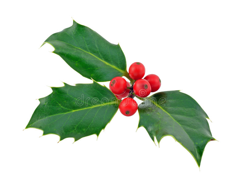 Holly. Sprig of European holly with ripe red berries stock photos