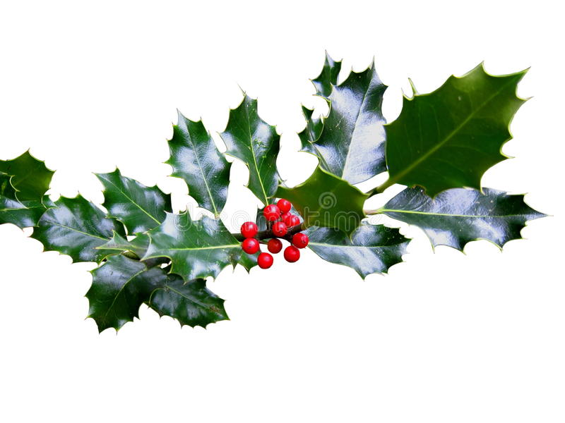 Download Holly stock photo. Image of holly, nature, isolated, christmas - 27391006
