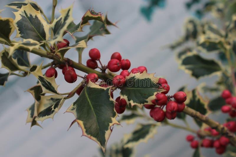 Holly arbustia com as amoras vermelhas imagem de stock
