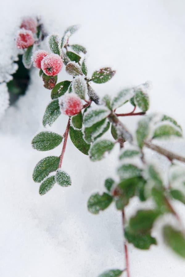 holly berrie zimy. obrazy stock
