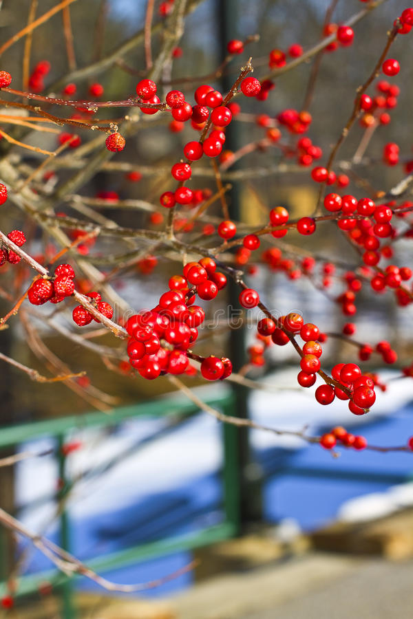 Holly Berries. Red Holly berries during winter season royalty free stock image