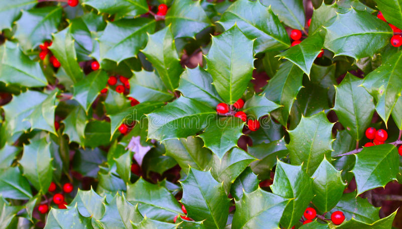 Holly with Berries. Green holly and red berries in time for the season royalty free stock images