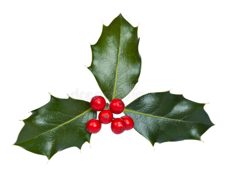 Holly with Berries. Holly and berries on a white background stock photography