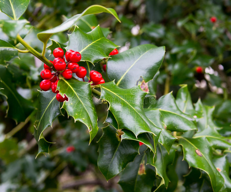 Holly berries. On bush in winter stock image