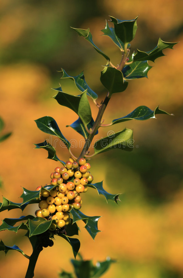 Holly and Berries. Holly stem and yellow berries against a backdrop of autumn colours royalty free stock photos