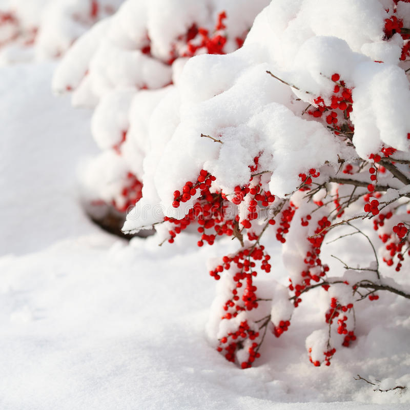 Holly Berries bush Covered with Snow. Christmas. Outside. Winter Sunny Day royalty free stock photography