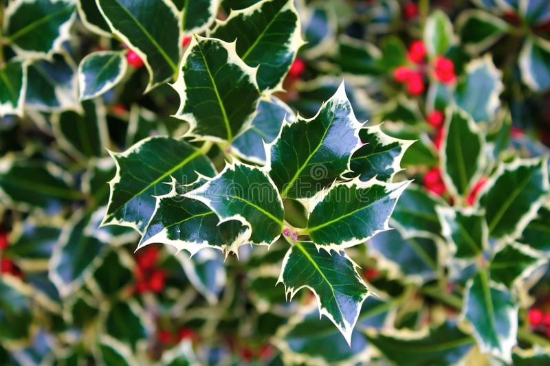 Holly and berries stock images
