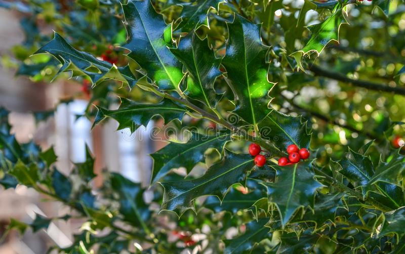 Holly Berry bush with red berries. At the garden in sunny day royalty free stock image