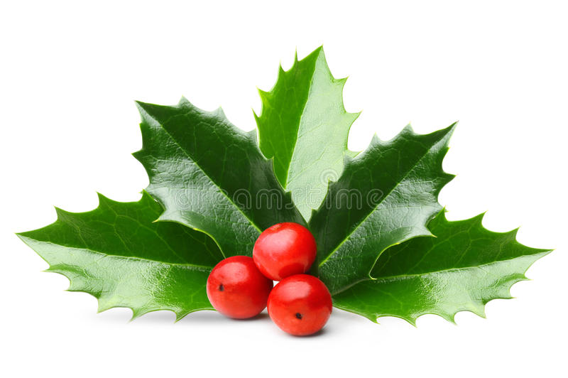 Holly berry leaves isolated stock image