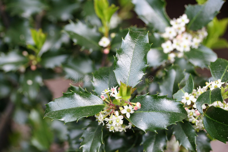 Holly Blossoms royalty free stock image
