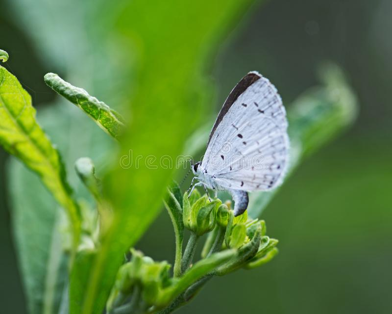 The Holly Blue butterfly that belongs to the lycaenids or blues family and is native to Eurasia and North America. Celastrina argiolus stock photos