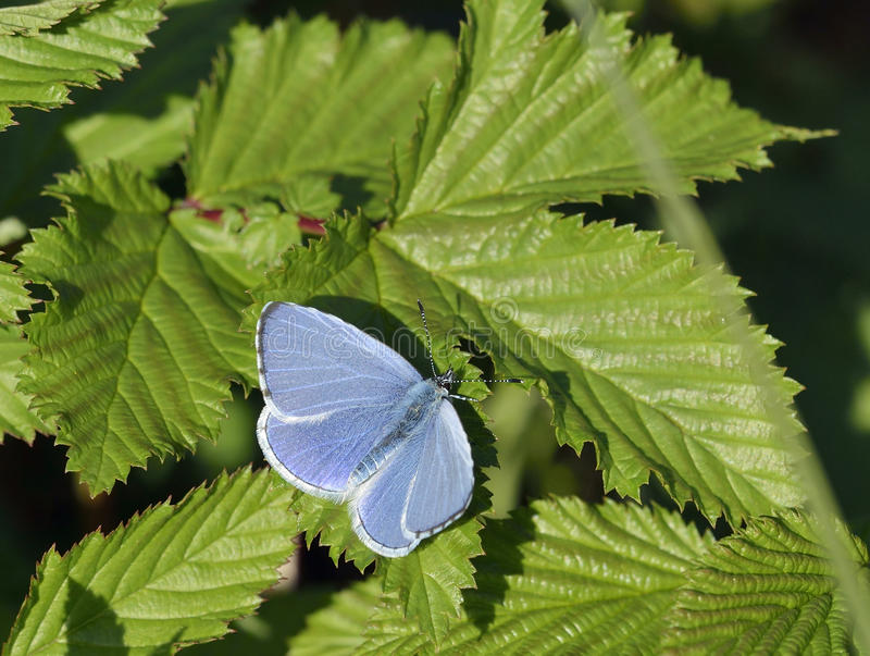 Holly Blue royalty free stock photos