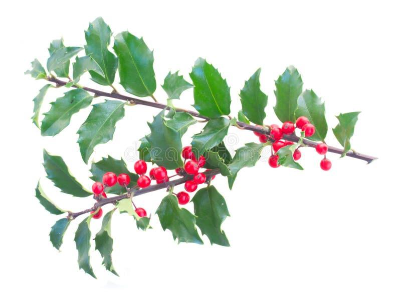 Holly Branch imagen de archivo libre de regalías