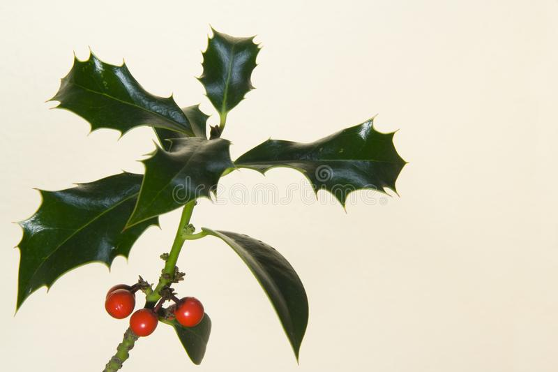 Holly branch II royalty free stock photos
