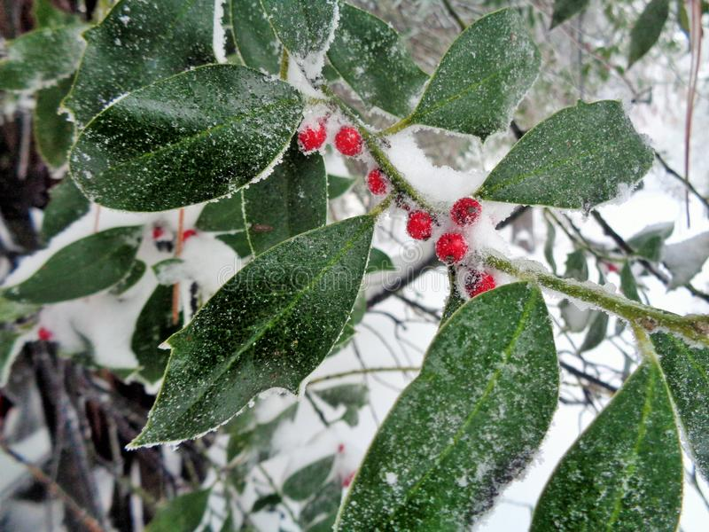 Holly Bush & x28;Ilex Aquifolium& x29; with Berries in Snow. This is an image of a holly branch with berries outside on a frosty snowy day. The red berries are stock photography