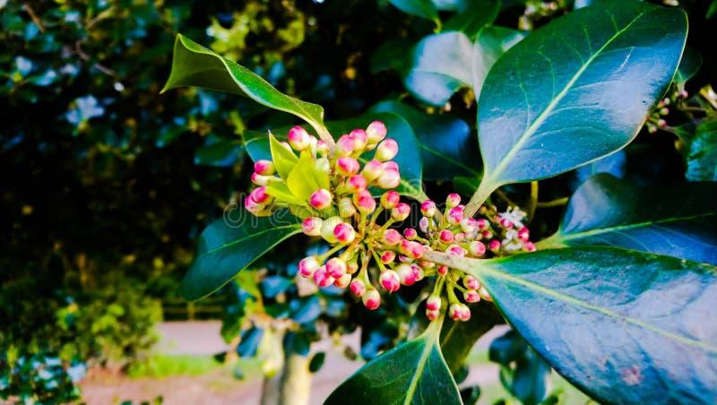 Holly bush royalty free stock photography