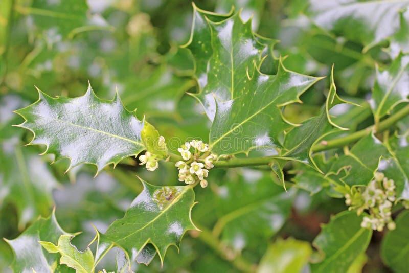 Holly bush na flor imagens de stock
