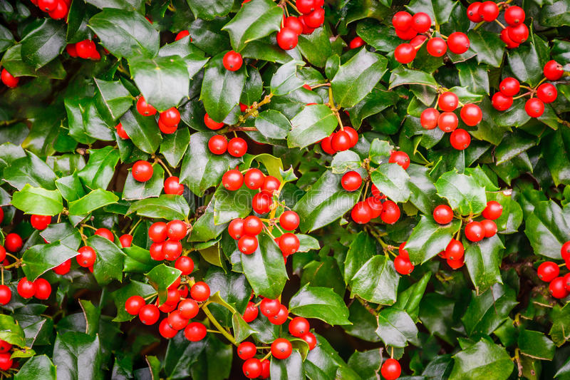 Holly bush with red berries. Closeup of Holly bush with red berries royalty free stock images