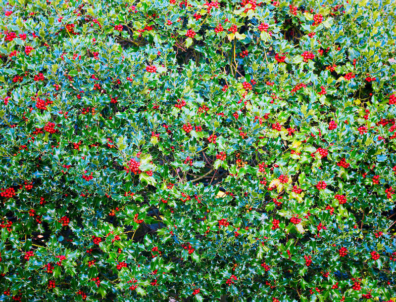 Holly Bush with Red Berries stock photo