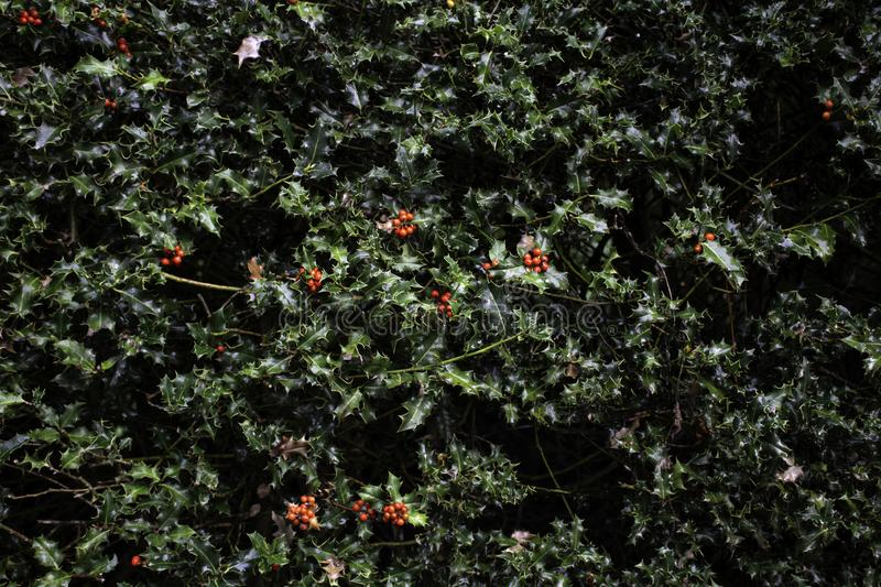 Holly Christmas plants stock image. Image of background ...
