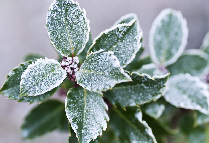 Holly with frost royalty free stock photos