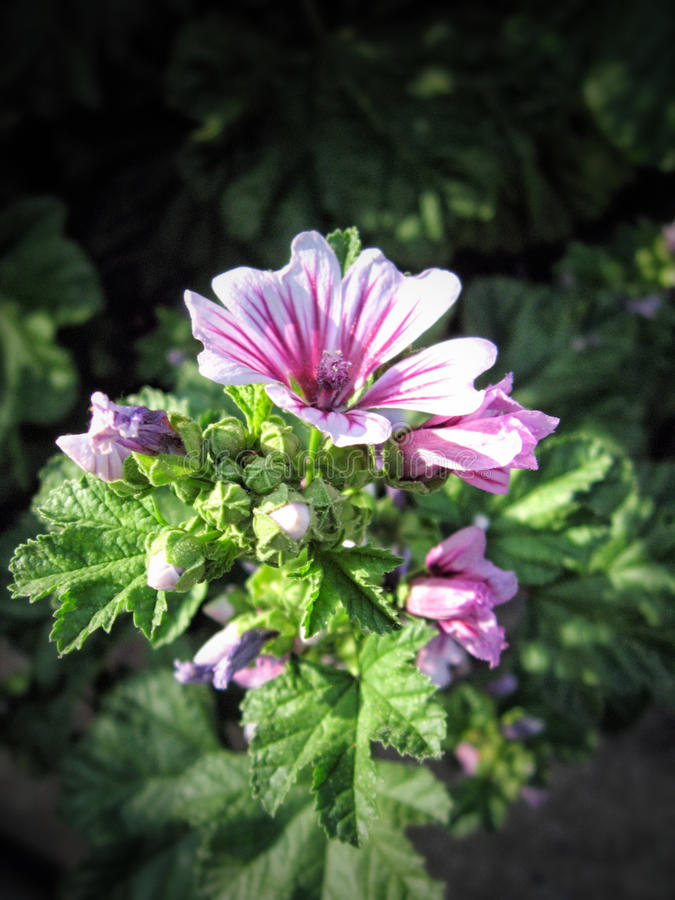 Holly Hock Bloom abigarrada púrpura con los brotes fotos de archivo