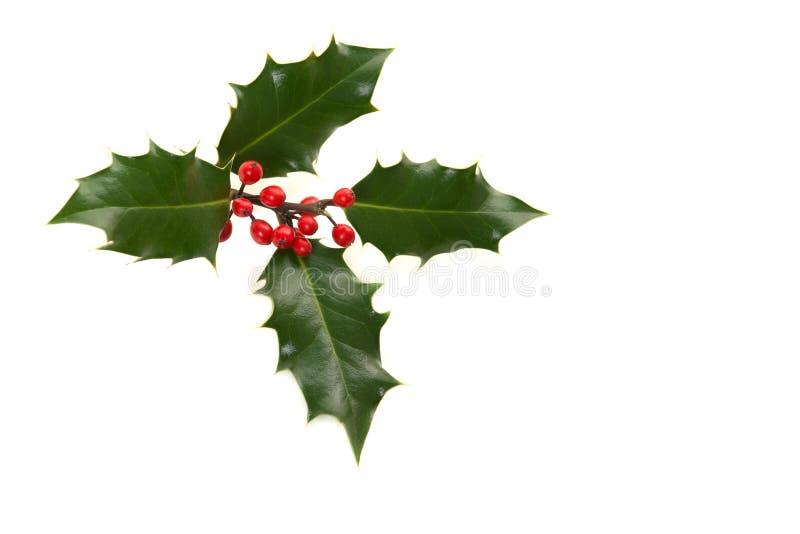 Holly ilex, διακόσμηση Χριστουγέννων στοκ εικόνα