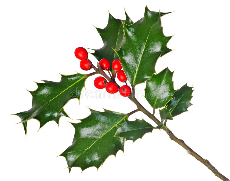 Download Holly (Ilex) - Isolated On White Stock Photo - Image: 13961694