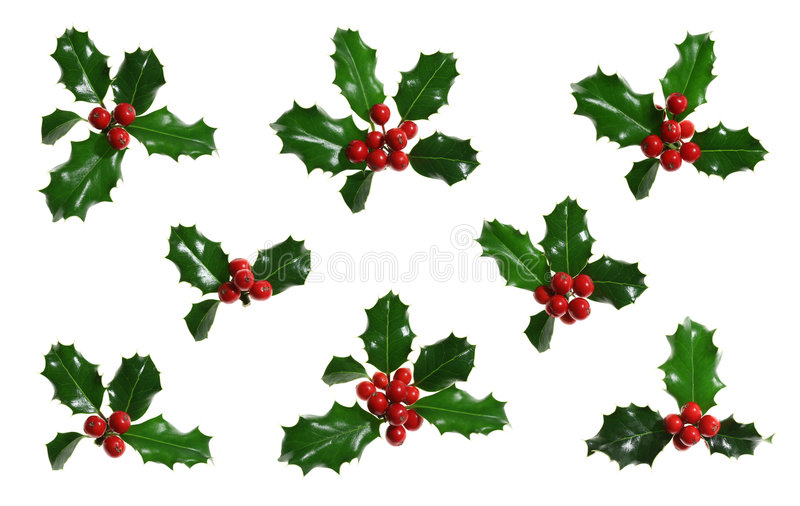 Holly Isolated on White stock image