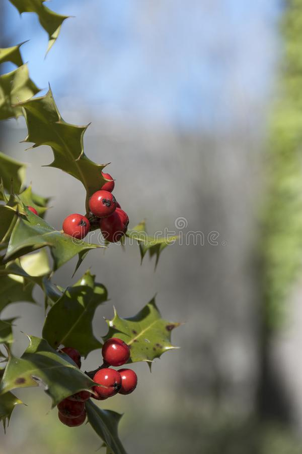Holly with its berries. Closeup detail of holly with its berries and leaves. Finnish Forest, Rascafria, Madrid, Spain stock images
