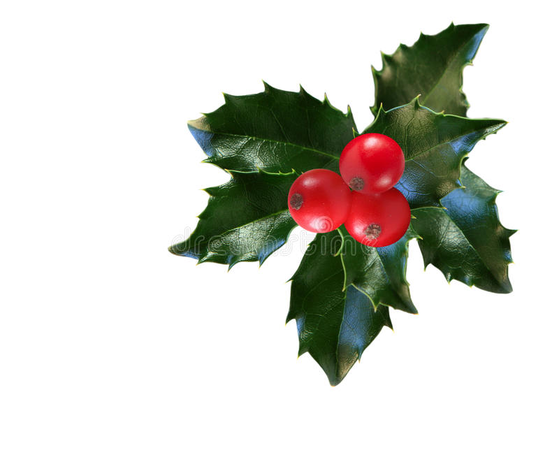 Holly Leaf and Berries. Holly leaves and berries isolated on white background stock photography