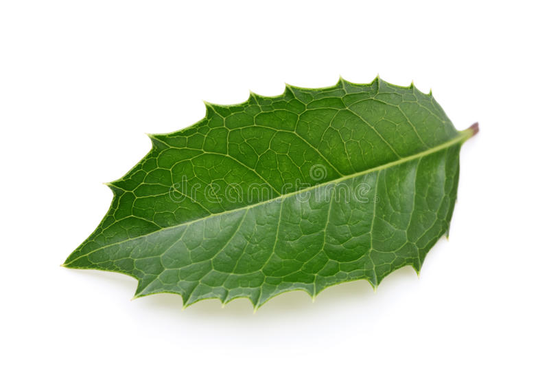Holly Leaf Stock Photo