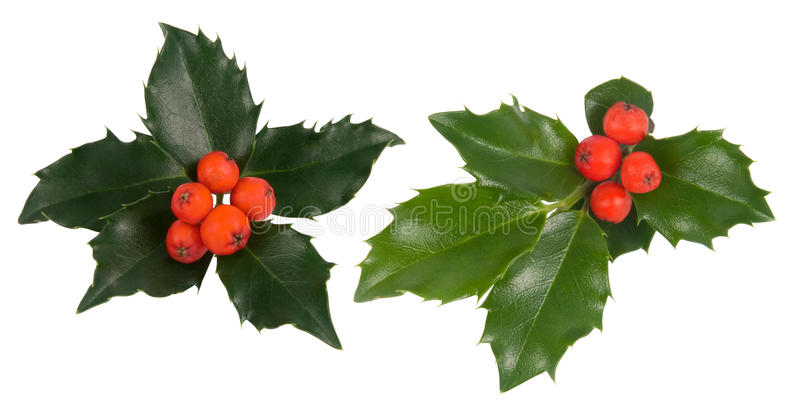 Download Holly leaves stock photo. Image of holly, decorative - 20736346