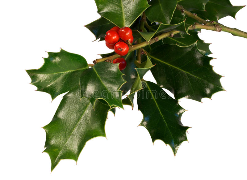 Holly leaves with berries. Sprig of holly with red berries stock photography