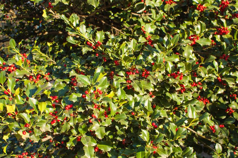 Holly Leaves and Red Berries Bush, Nature View in a Park on a Sunny Day.  stock photos