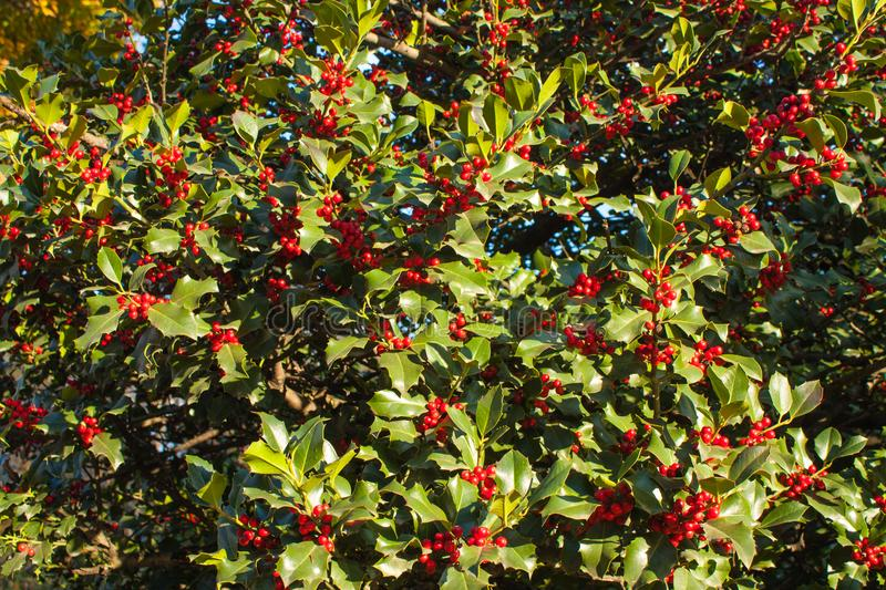 Holly Leaves and Red Berries Bush, Nature View in a Park on a Sunny Day.  stock image